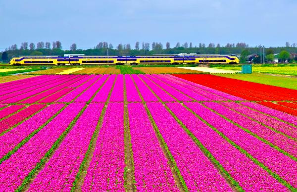 Den Helder (Olanda): i campi di tulipani #fotospettacolari